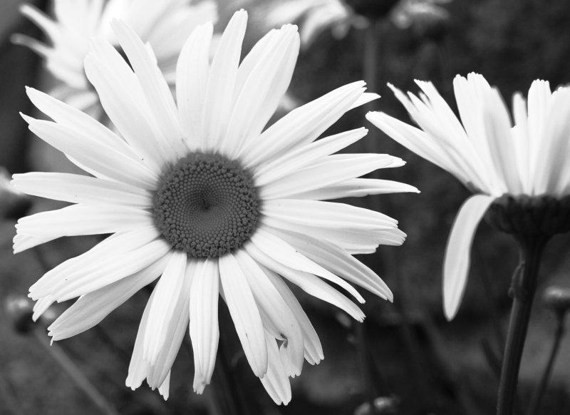 Ireland, Wicklow, Flowers, Black and white, Monochrome The mesalliancephoto preview