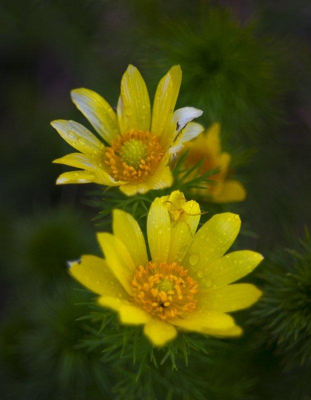 Про горицветы под дождемphoto preview