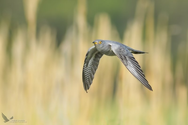 birds, nature, animals, wildlife, colors, spring, flight, nikon, nikkor, lens, lubuskie, poland Kukułka, Common Cuckoo (Cuculus canorus) ...photo preview