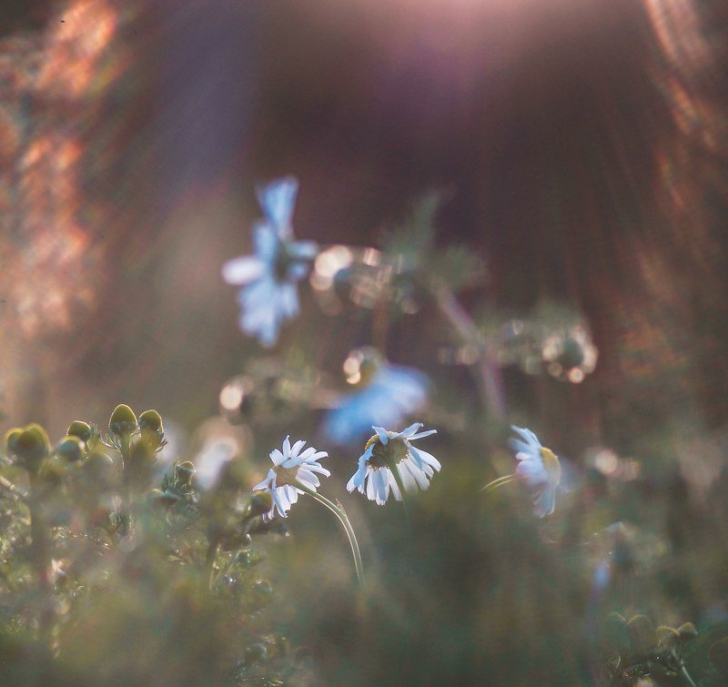 природа, трава, цветы, ромашки, закат Ромашки в закате...photo preview