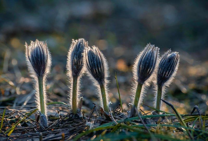прострелы, сон-трава, весна, лес, мещёра, рязанская область Накануне главного дня ...photo preview