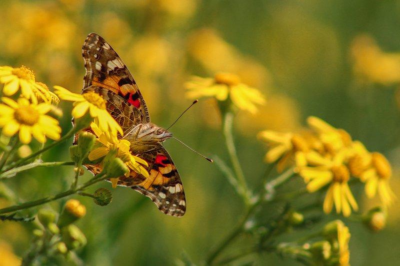 природа, весна, цветы, жёлтый, макро, бабочки, крылья, репейница Обычные делаphoto preview