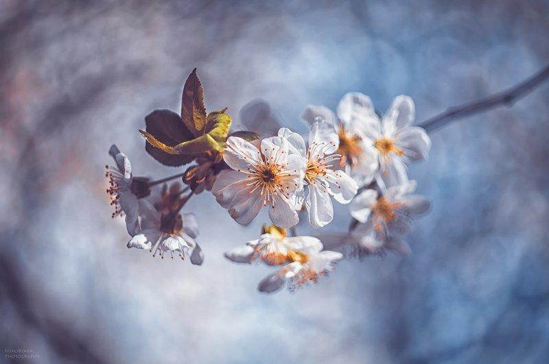 природа, растения, цветы, деревья, вишня, весна, боке, nature, plants, flowers, trees, cherry, spring, bokeh Веточка весныphoto preview