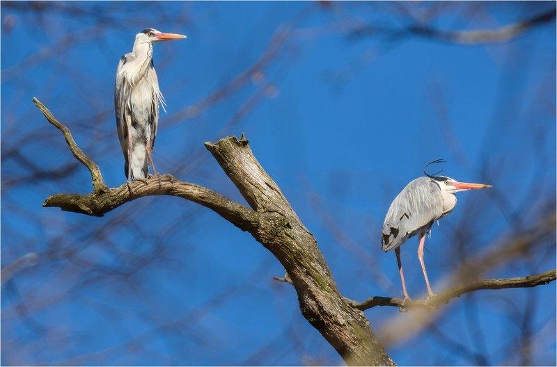 птица цапля серая цапля весна Серые цаплиphoto preview