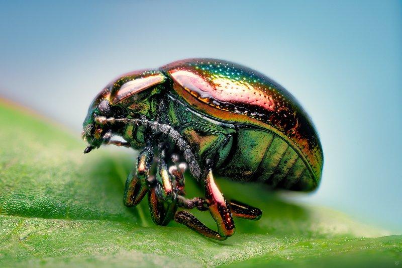 macro, bug, Chrysolina fastuosa, nature, 5:1 Chrysolina fastuosaphoto preview