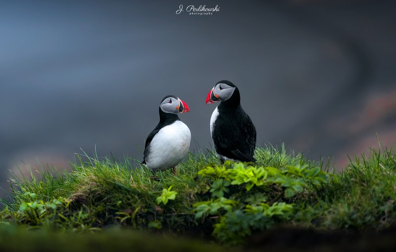 iceland, puffin, nature, birds, wildlife,  Puffin lovephoto preview