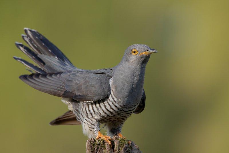cuckoo, birds, nature, wildlife, woods Just landedphoto preview