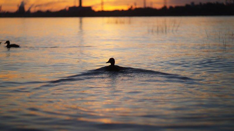 закат, утки, волны, речка, красота природы, крылья Мои длинные крылья...photo preview