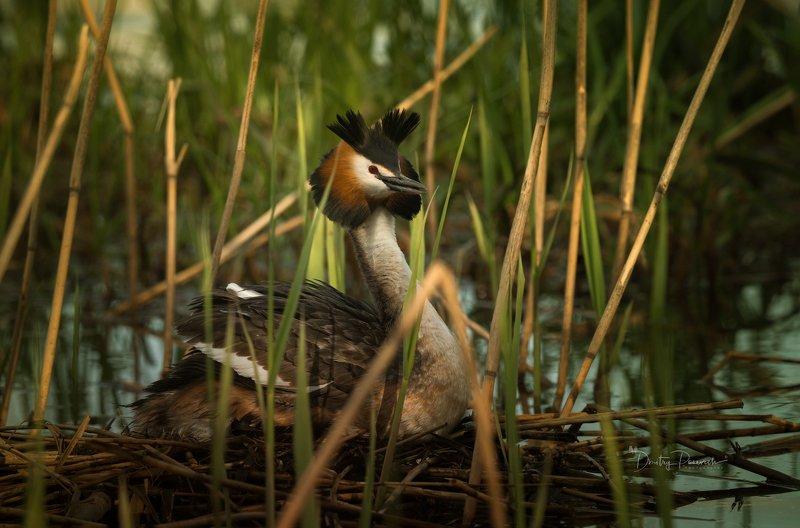 природа, лес, животные, птицы Скоро будут утята фото превью