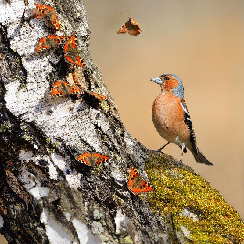 природа, фотоохота, зяблик, птицы, животные, весна, березовый сок, бабочки Березовый сокphoto preview