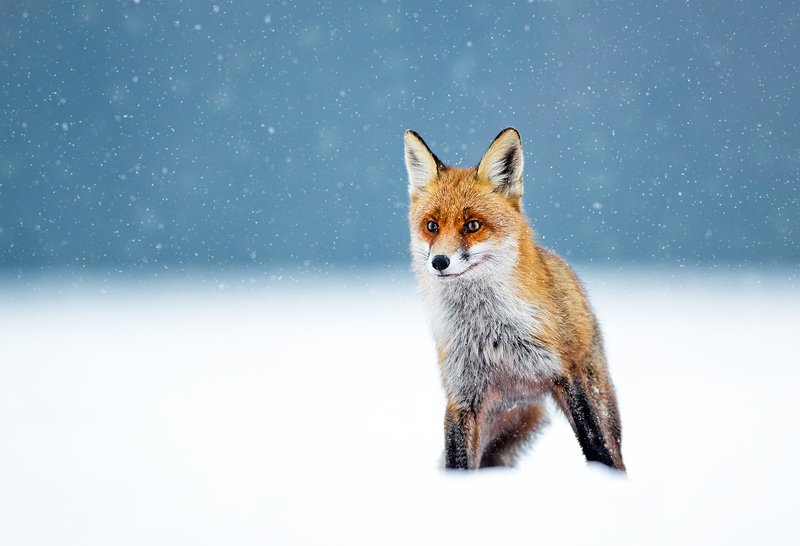 fox, animals, wildlife, winter, snow, Foxphoto preview