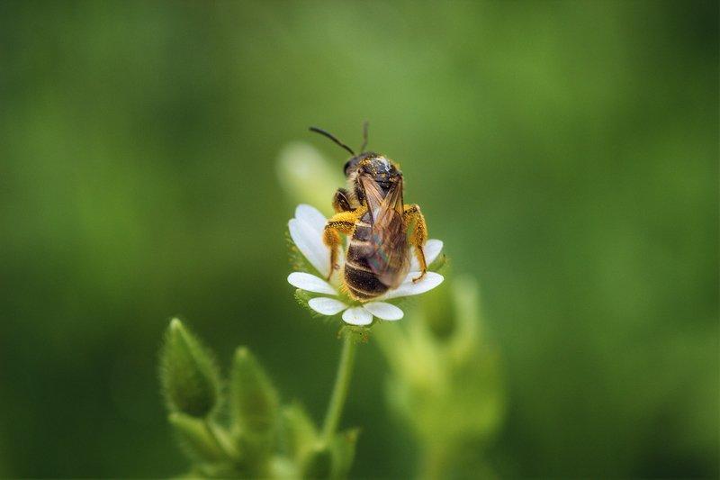 moment, момент, beautiful, красивый, nature, природа, macro, макро, macro lens, tokina 100 macro, flower, цветок, spring, весенний, insect, насекомое, pollen, пыльца, pollination, опыление, Маленький вклад в большое дело.photo preview