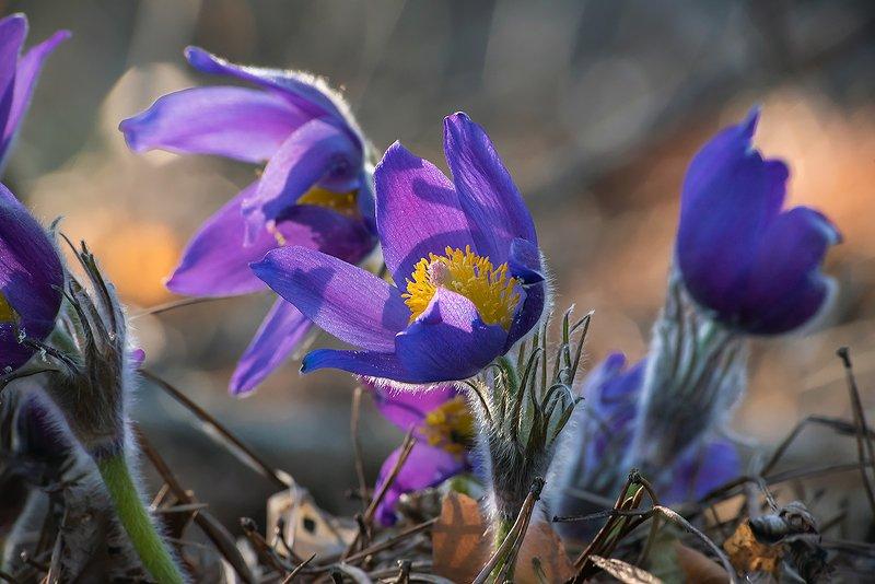 прострелы, сон-трава, цвететение, цветы, весна, лес, мещёра, рязанская область Чудесный день ...photo preview