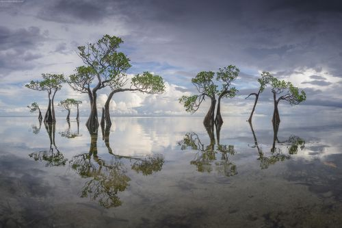Sumba dancing trees