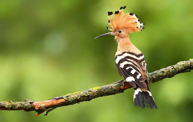 birds, animals, wildlife, hoopoe, nature, spring, summer, green, Hoopoephoto preview