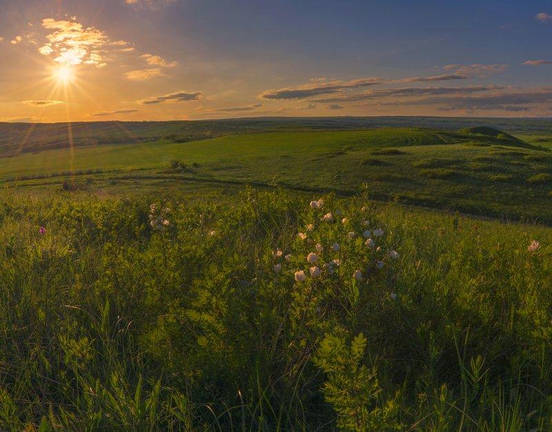 шиповник,закат,весна,пейзаж Белый шиповник, дикий шиповник краше садовых роз...photo preview
