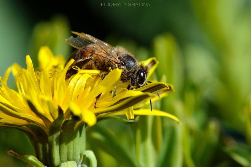 пчела , мед , цветок , весна , желтый , одуванчик Веснаphoto preview