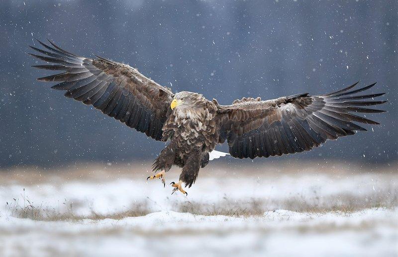 eagle, birds, animals, winter, snow, wildlife, Eaglephoto preview