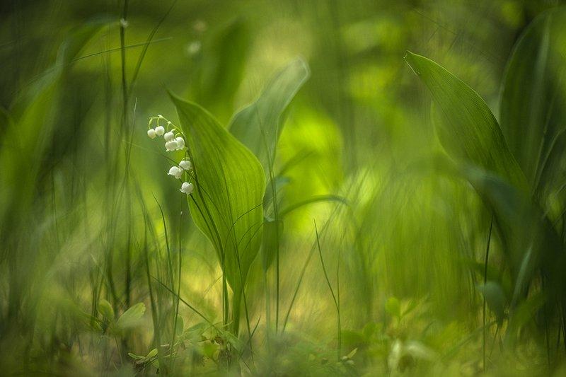 ландыш, цветок, май, весна, свет, цвет, воронеж, геннадий мещеряков, Будем жить!photo preview