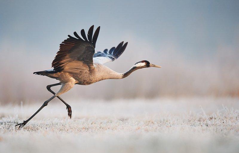 birds, bird, animals, animal, wildlife, nature, crane, grus, Runnerphoto preview