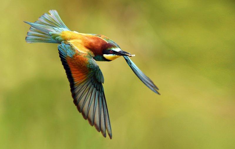 birds, bird, animal, animals, wildlife, fauna, bee eater, Bee eaterphoto preview