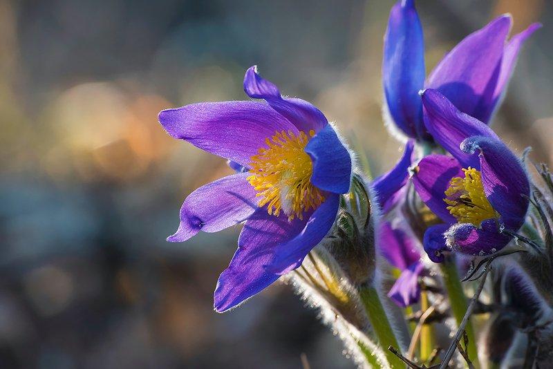 прострелы, сон-трава, цвететение, цветы, весна, лес, мещёра, рязанская область Pro праздник красоты ...photo preview