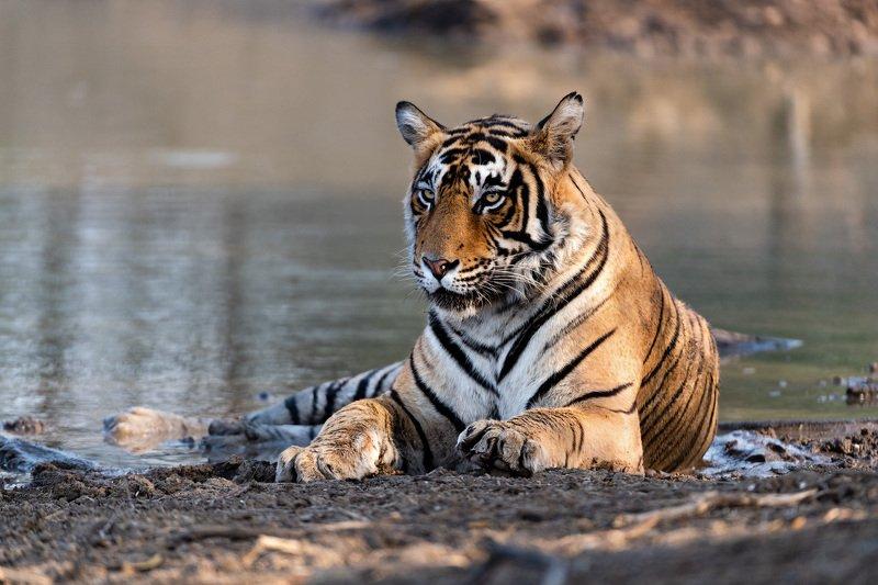 Тигриные портретыphoto preview
