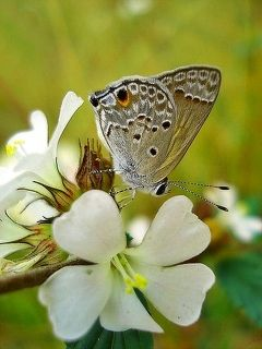 The Small Butterfly