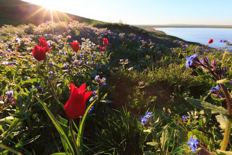 тюльпаны, крым, степь, весна, рассвет, озеро Тюльпаны Кояшского озераphoto preview