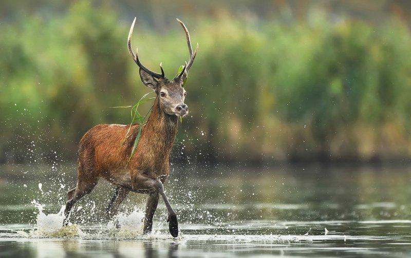 deer, animals, wildlife, animal, mammals, buck, animals, Deerphoto preview
