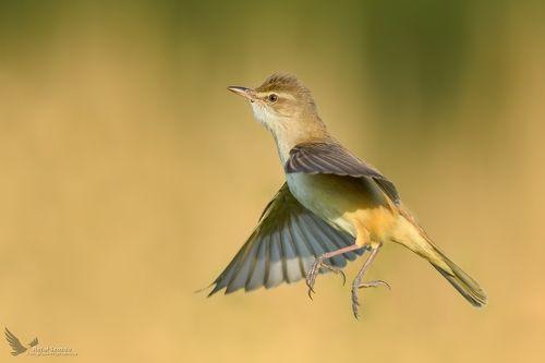 Trzciniak, Great Reed-Warbler (Acrocephalus arundinaceus) ...