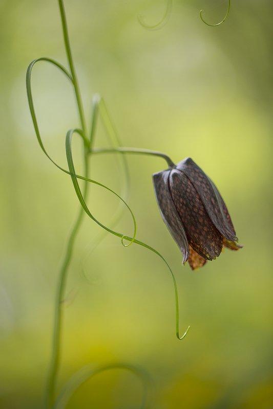 рябчик уссурийский fitillaria ussuriensis цветок май Арабескиphoto preview