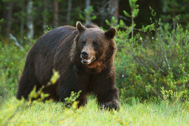 bear, wildlife, animals, animal, mammals, ursus, arctos, wild, Bearphoto preview