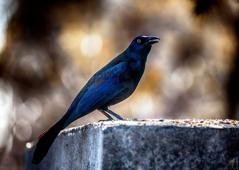 Common Gracklephoto preview