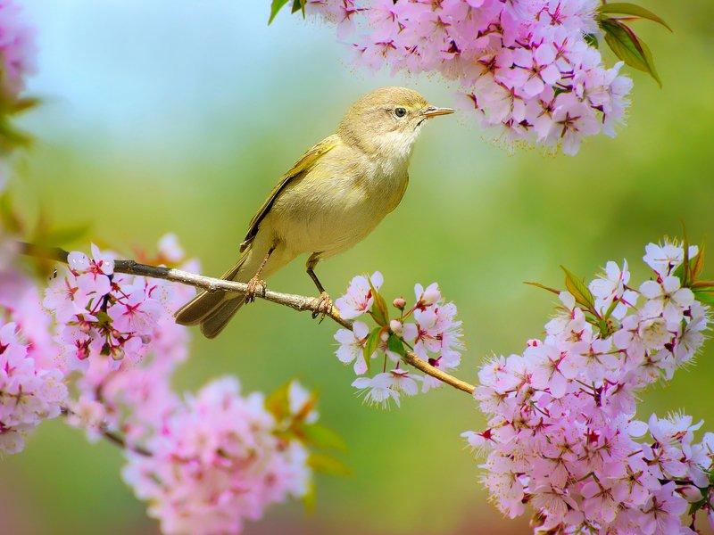 природа, фотоохота,  птицы, животные, весна, цветущая слива, пеночка Вестница весныphoto preview
