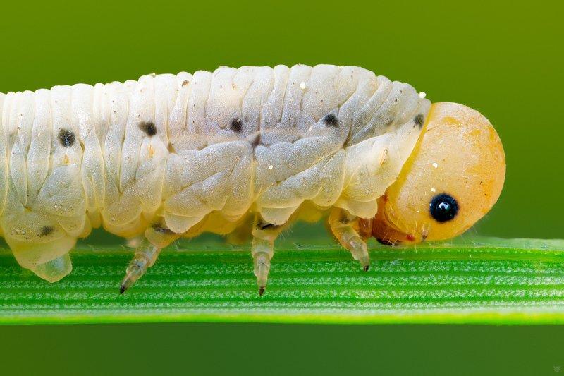 Caterpillar, bug, macro, 5:1 Caterpillarphoto preview
