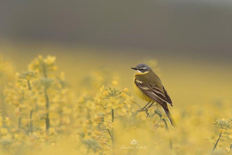 Pliszka żółta (Motacilla flava) фото превью