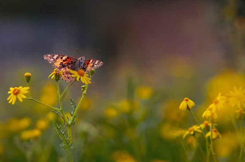 весна, цветы, бабочка, репейница, макро Вечерние посиделкиphoto preview
