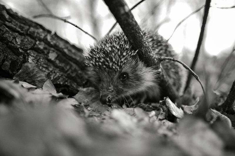 природа, животные, дикие животные, еж, 24мм, чб, Россия, Татарстан, крупным планом Опасный зверьphoto preview
