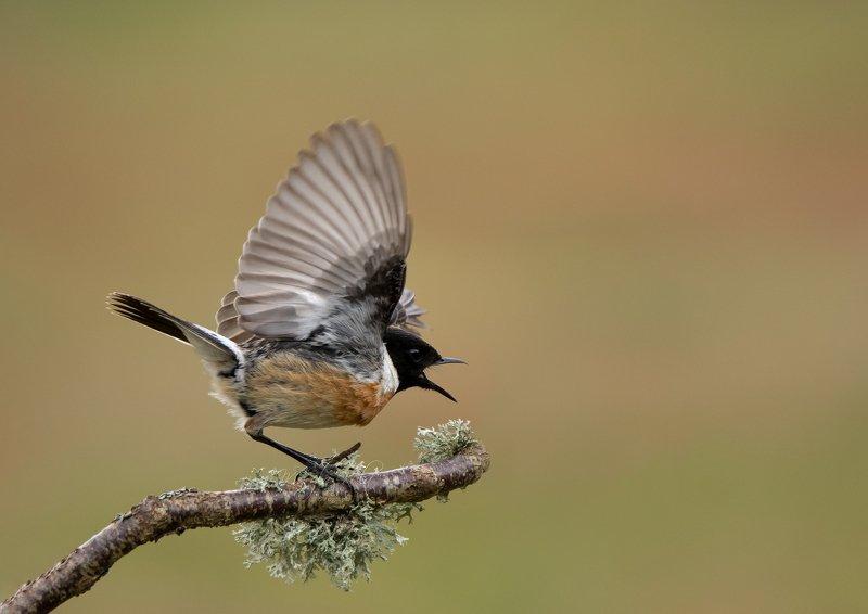stonechat, birds, nature, wildlife, Stonechatphoto preview