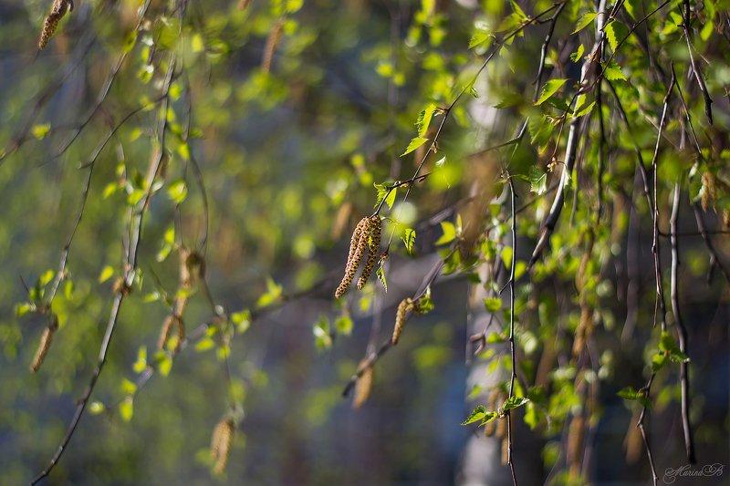 весна, зелень, нежность, береза, ель, листва Весенние нежностиphoto preview