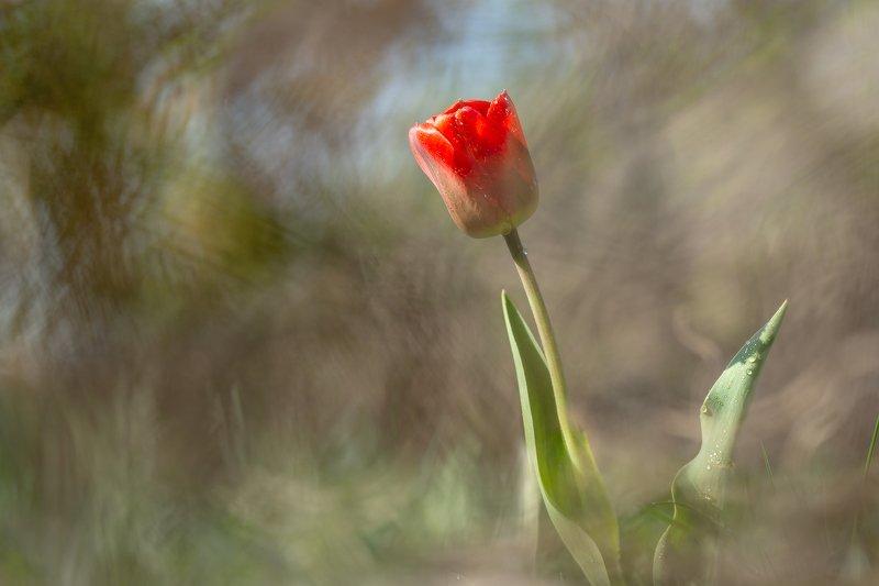 Три момента из жизни тюльпанаphoto preview
