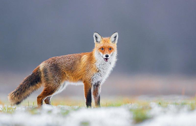 fox, animals, wildlife, vulpes, mammals, predator, Foxphoto preview