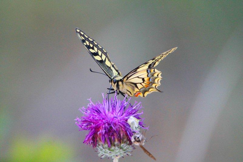 бабочка ,макро,фауна. *** фото превью