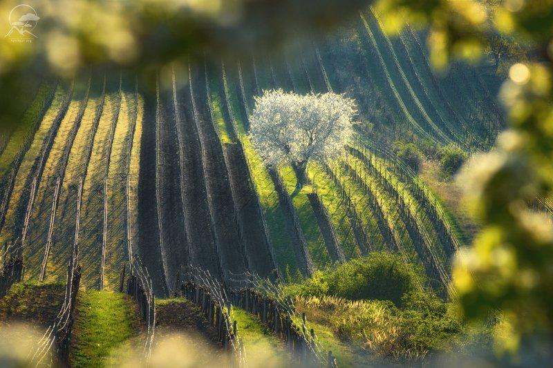 пейзаж, природа, дерево, моравия, чехия «И снова белый наряд примерила весна» фото превью