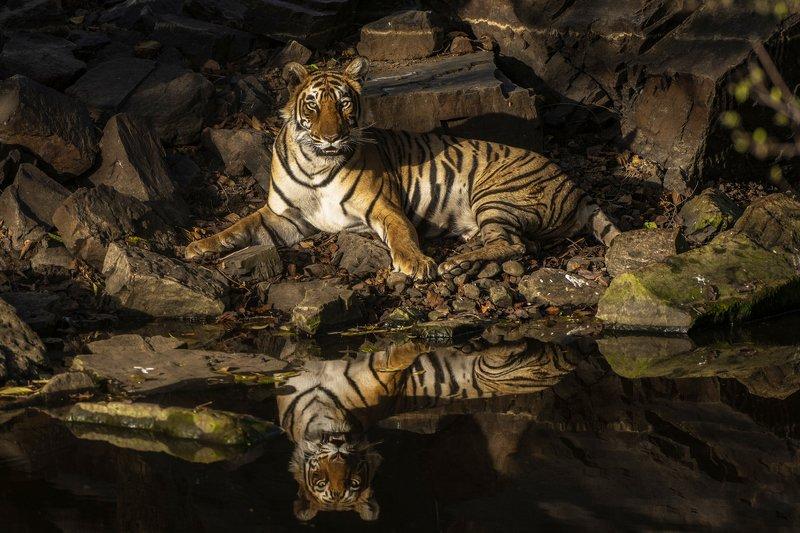 тигрица ТИГРИЦА НА ОТДЫХЕphoto preview