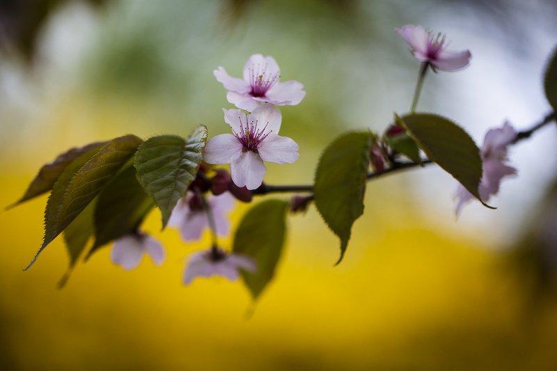 вишня сахалинская владивосток Сахалинская вишняphoto preview