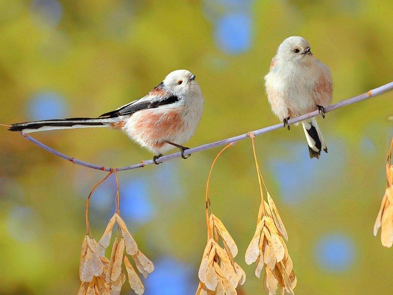 природа, фотоохота, длиннохвостая синица, птицы, животные, цветы, весна Весеннее ухаживаниеphoto preview