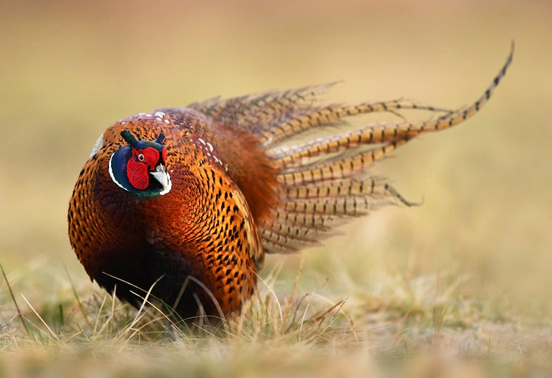 animals, birds, wildlife, pheasant, Pheasantphoto preview