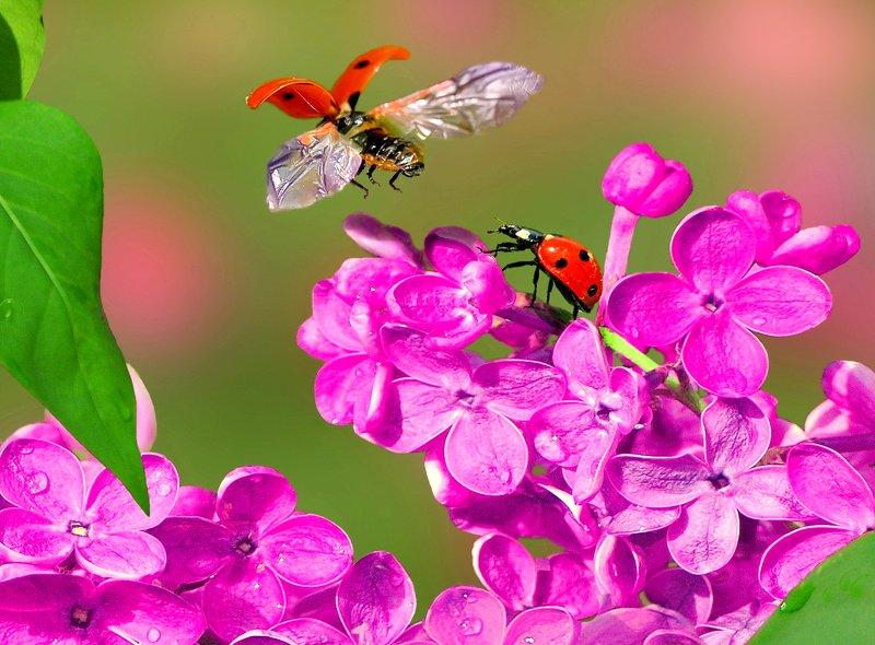 природа,  цветы, весна, божья коровка, сирень Зацвела сирень!photo preview